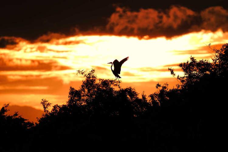 004安曇川町  逆光の鷺.jpg