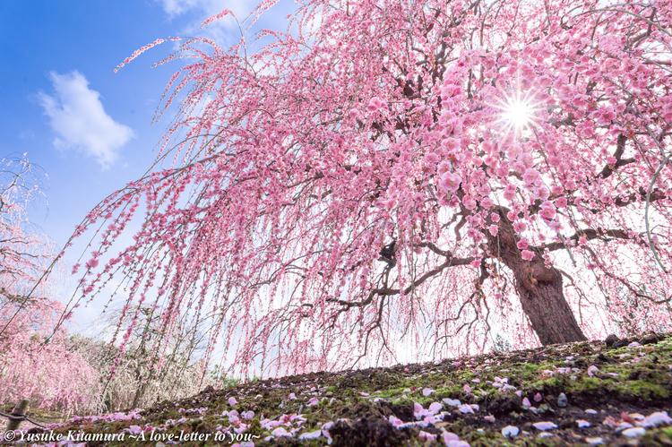 01_全国的な名所で撮影した枝垂れ梅.jpg