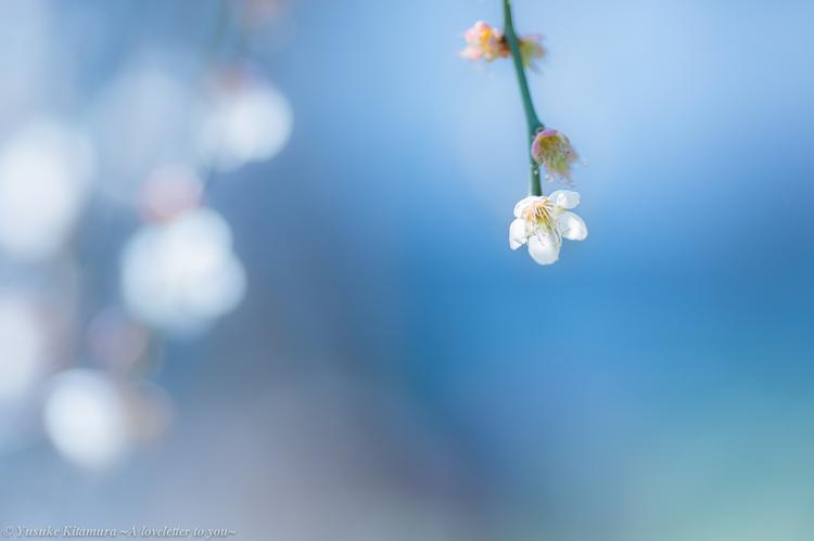 05_お寺で見かけた白梅の作例.jpg