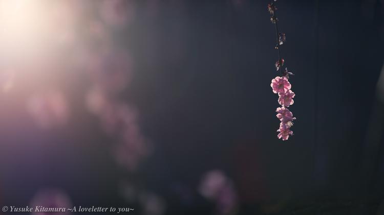 07_枝垂れ梅を夕方に撮影.jpg