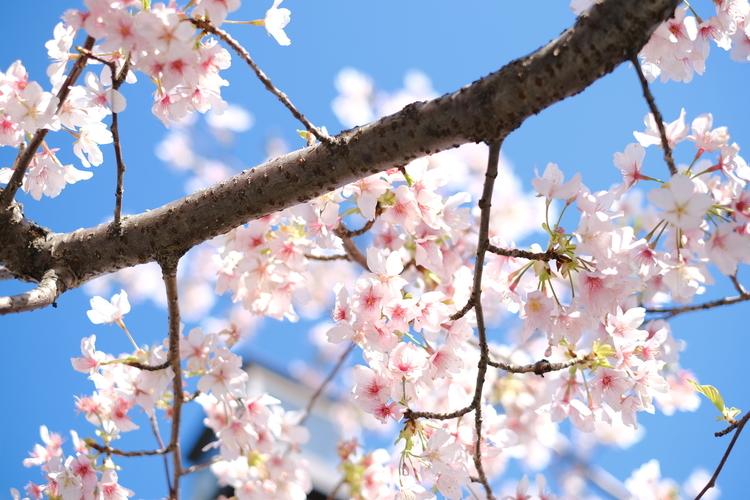 (見出し)桜をアスティアで撮影した写真.JPG