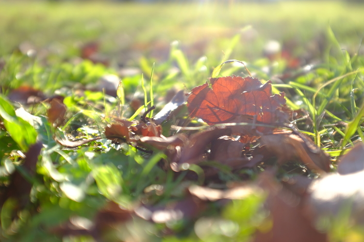 逆光で落ち葉を撮影した写真.JPG