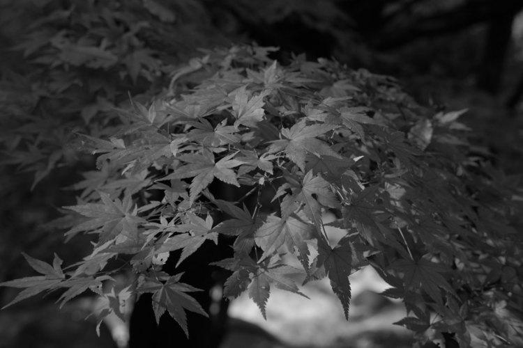 アクロスで紅葉を撮影した写真.jpg