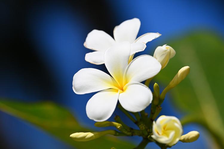 プルメリアの花を撮影した写真.JPG