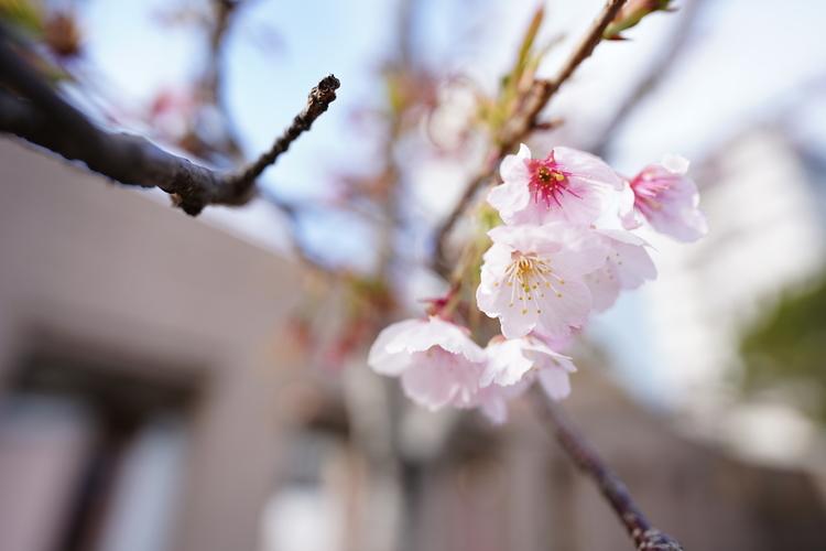桜を撮影した写真.JPG