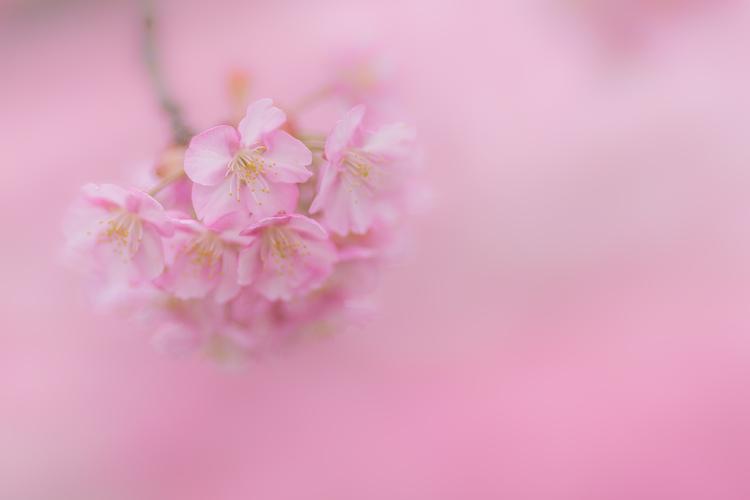 河津桜の一房を写した写真.jpg