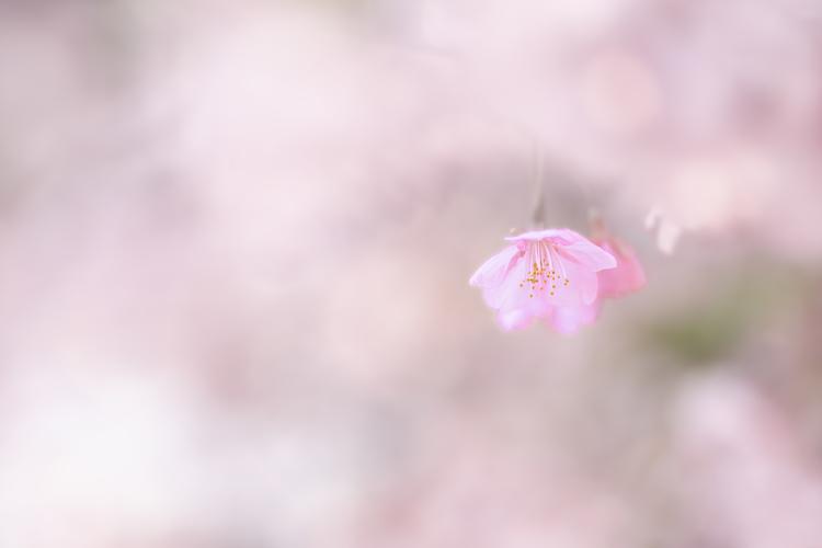 河津桜の一輪を写した写真.jpg