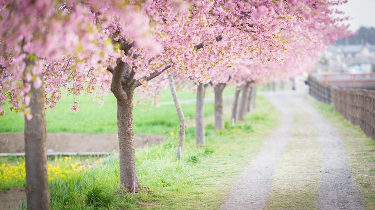 河津桜の並木道を写した写真.jpg