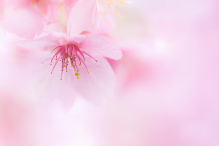 河津桜をマクロで寄って写した写真.jpg