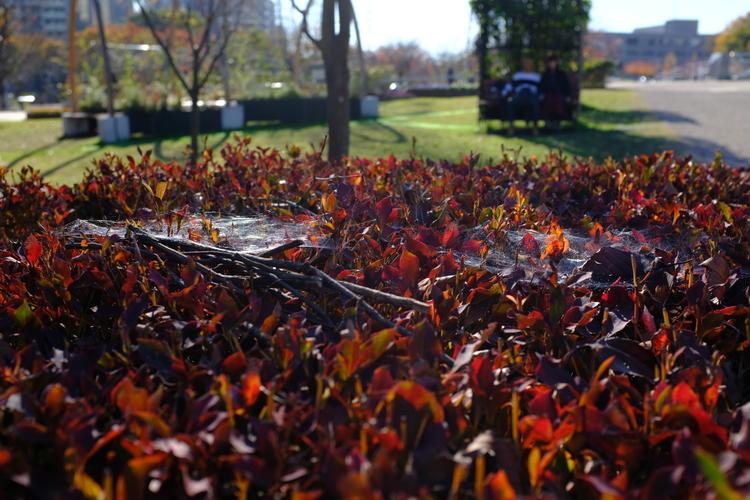 葉っぱの上のクモの巣を撮影した写真.JPG